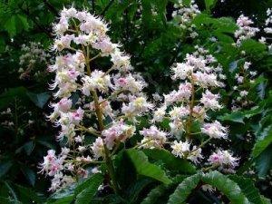 white-chestnut1